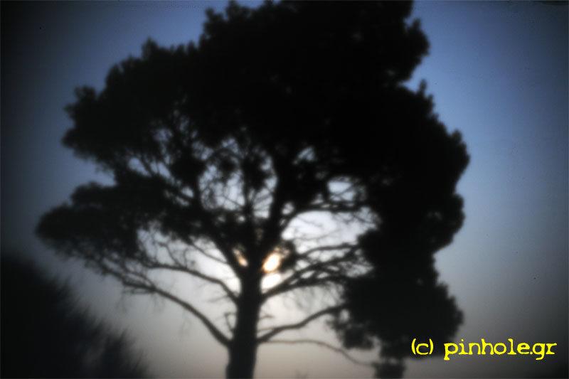 The Pine tree (055)