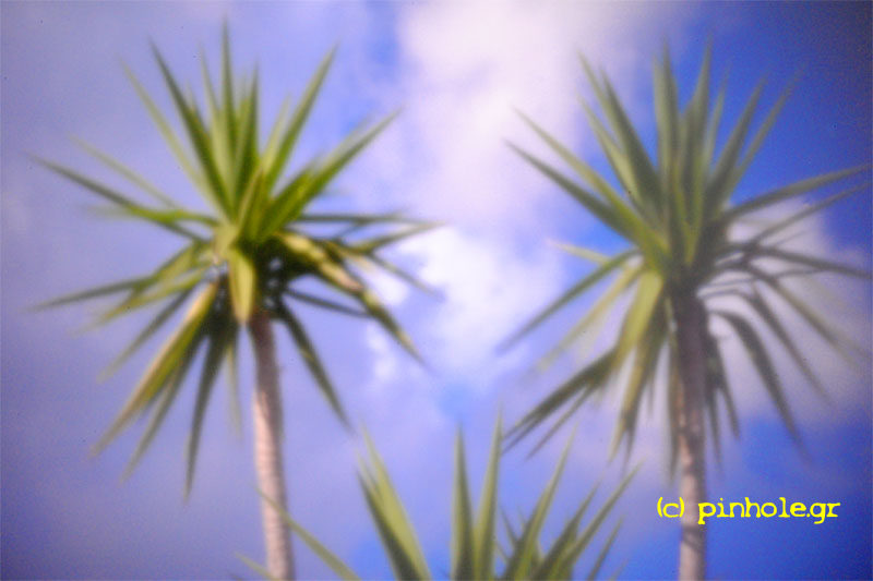 Dracaena marginata (170)