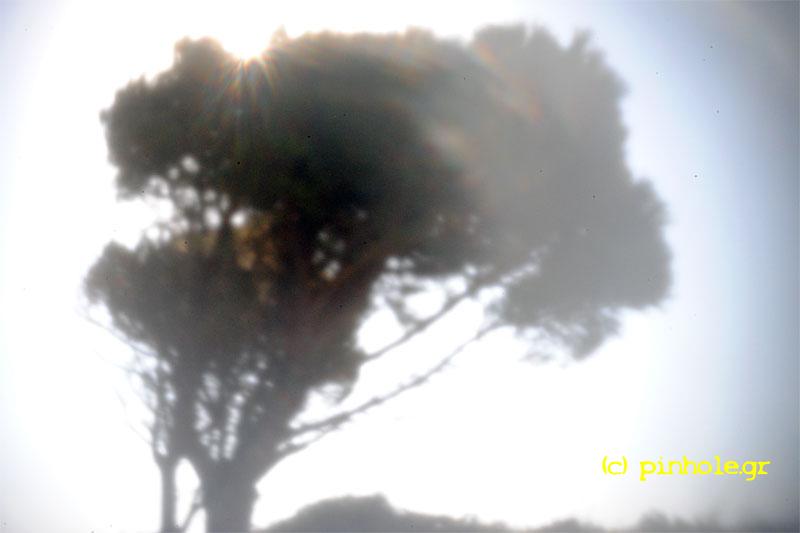 Pine (243)